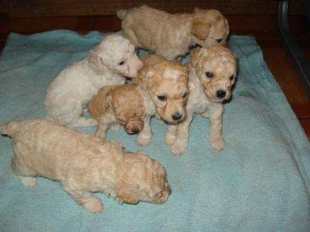 Vendo hermosas cachorritas poodles