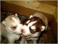 Siberian husky puppy -$200