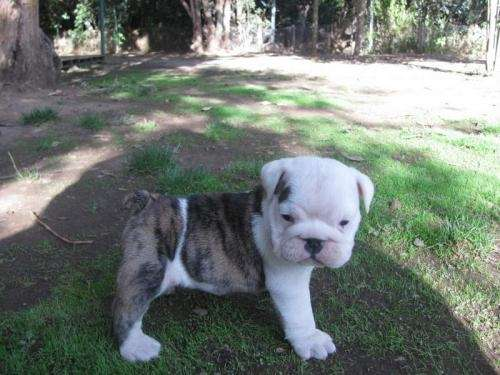 Espectacular camada de bulldog ingles
