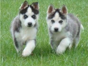 Cachorros siberian husky a la venta