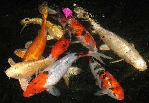 peces koi precio peces koi nadando en el estanque u fotos