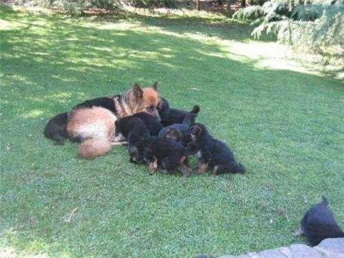 A la venta cachorros pastor aleman iscrito