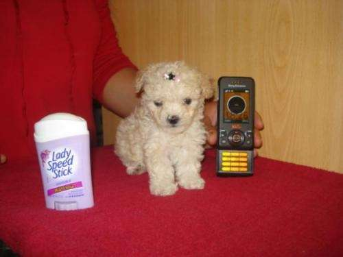 Compro una perrita poodle micro toy color blanca