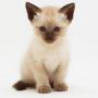 adopto gato siames