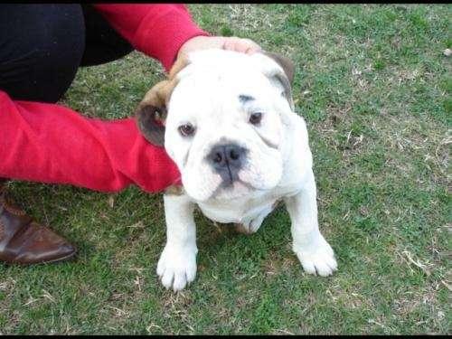 Bulldog ingles 3 1/2 meses inscrito chipeado