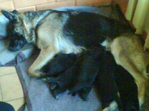 Hermosas cachorras pastor alemán $40000 c/u