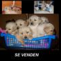 Se venden perritos Golden