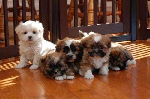 Cuatro shih tzu 2 hembras y 2 machos cachorros para su aprobación