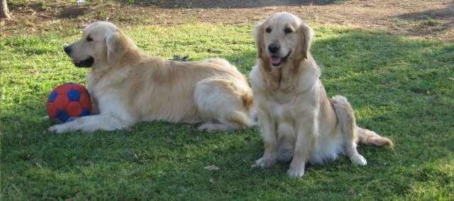 Cachorros golden retriever inscritos,raza pura.