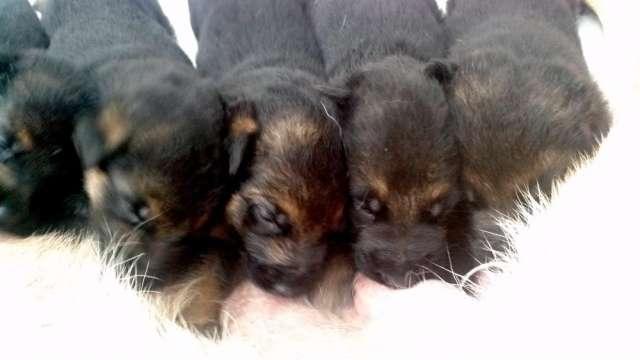 Venta de cachorros pastor aleman inscritos