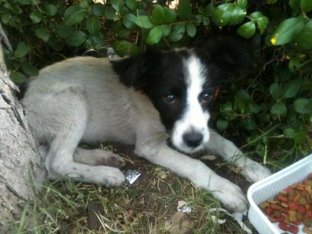 Perritos abandonados en adopción - santiago