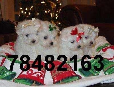 Vendo hermosos poodle toy y micro toy garantizados