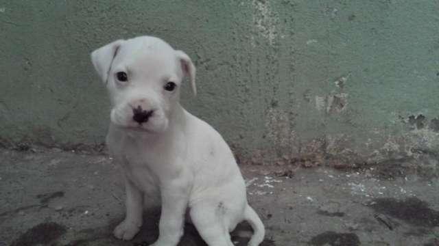 Vendo cachorros pitbull con boxer blancos