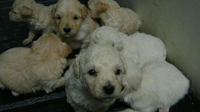 Hermosos cachorritos poodle enanos