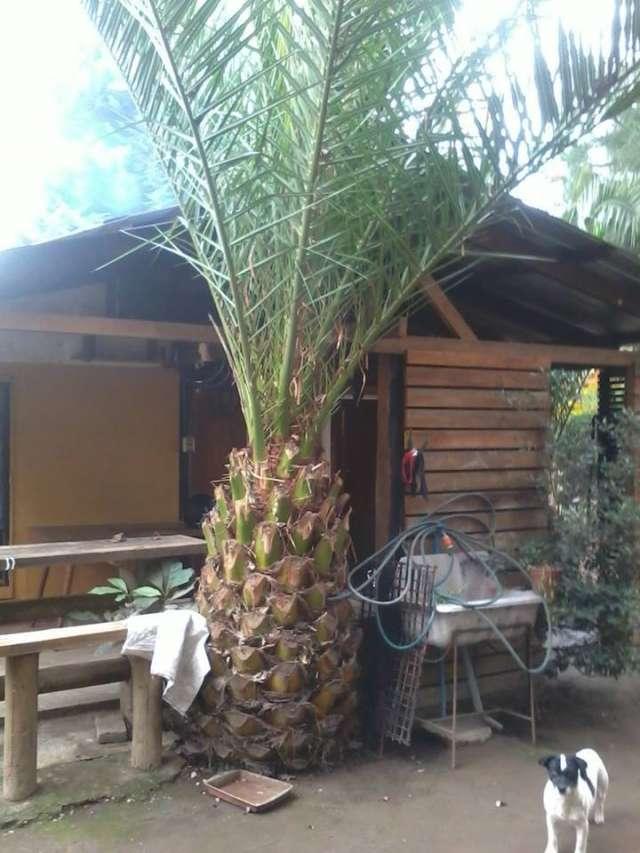 Vendo palmeras sector laguna de aculeo