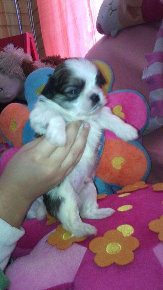 Vendo lindos perritos shih tzu, machos y hembras tricolores y bicolores, vacunados y desparasitados. fono 76797630