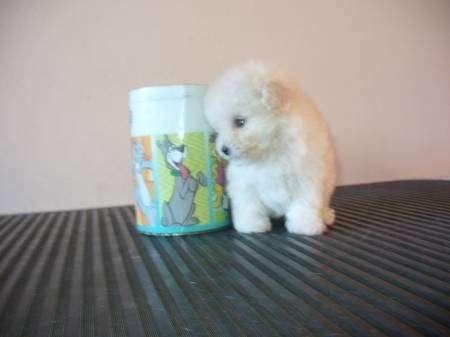 Vendo perros poodle toy y micro toy