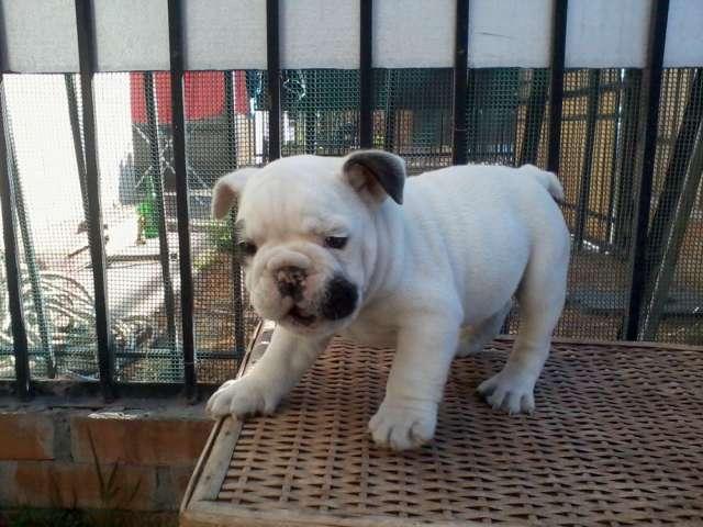 Hermoso bulldog ingles sangre española