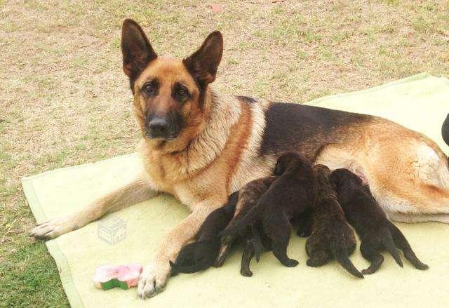 Regalo cachorros hijos de pastor alemán