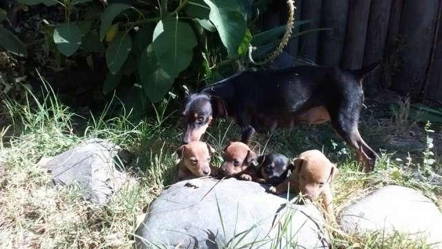 Cachorros pincher criados por veterinaria