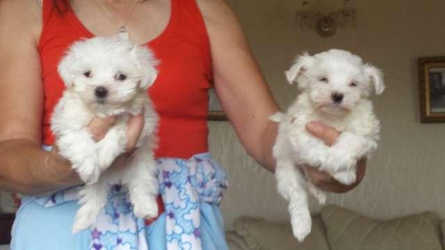 Los cachorros maltés encantador muy dulce