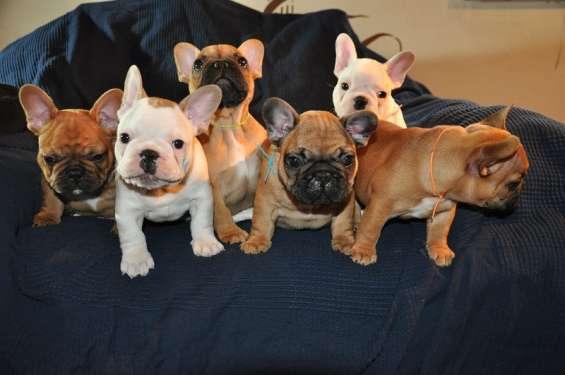 Regalo inmejorables cachorros bulldog francés
