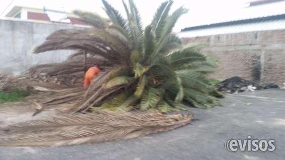 Poda y limpieza de palmeras