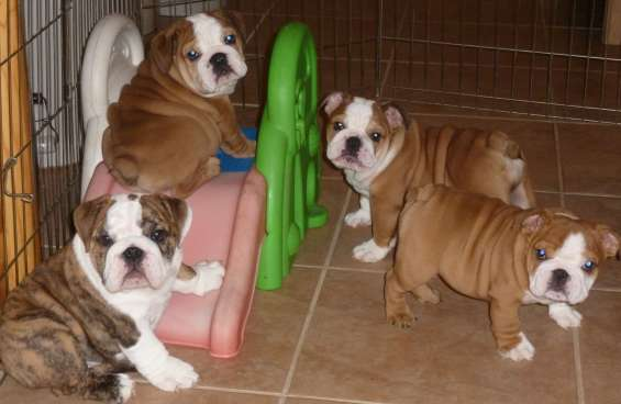 Cachorros de bulldog inglés - gratis