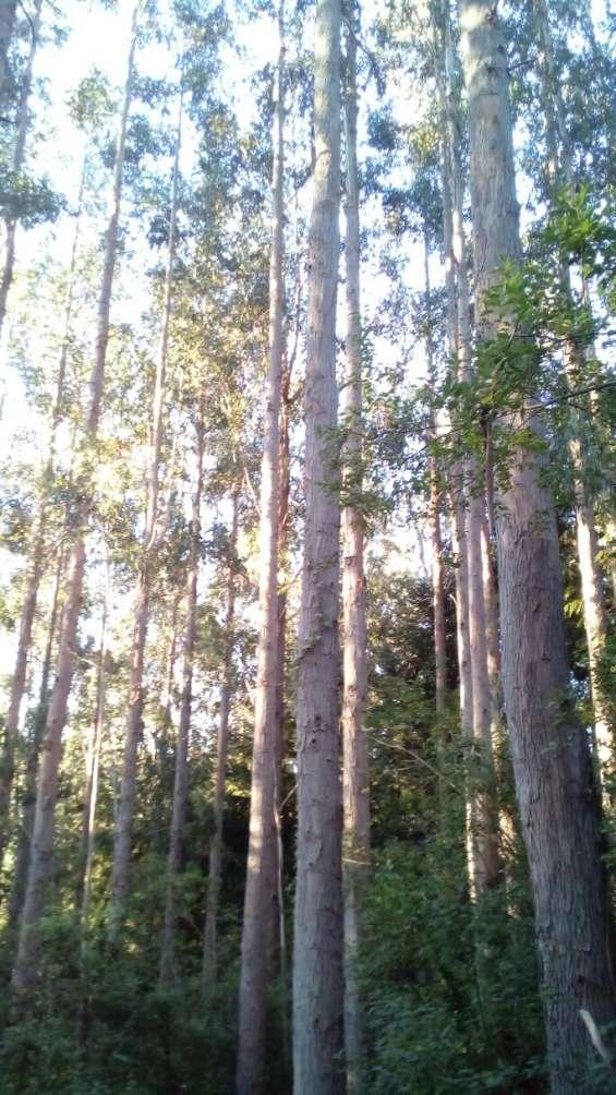 Venta bosque eucalypus delegatensis