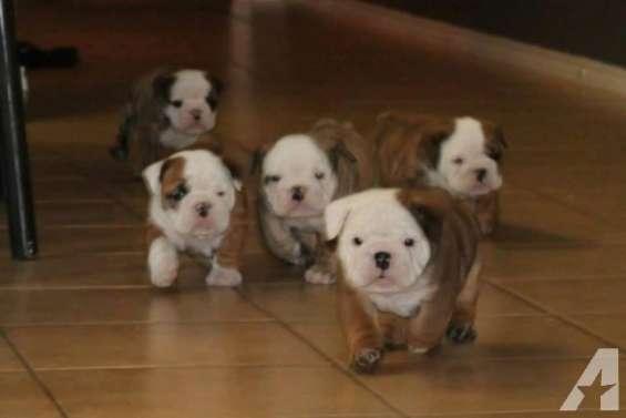 Cachorros de bulldog inglés *gratis ***