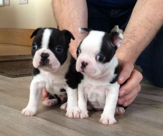 Cachorros de boston terriers.