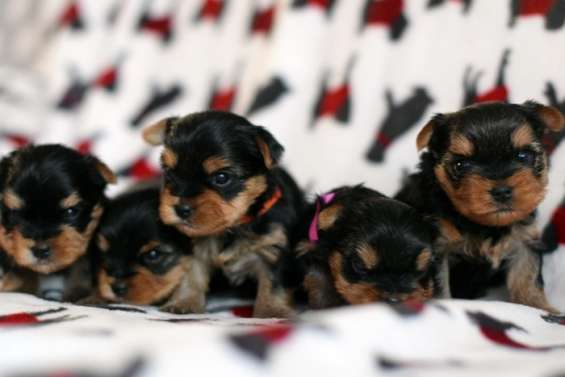 Impresionante pedigree toy yorkshire terrier pup