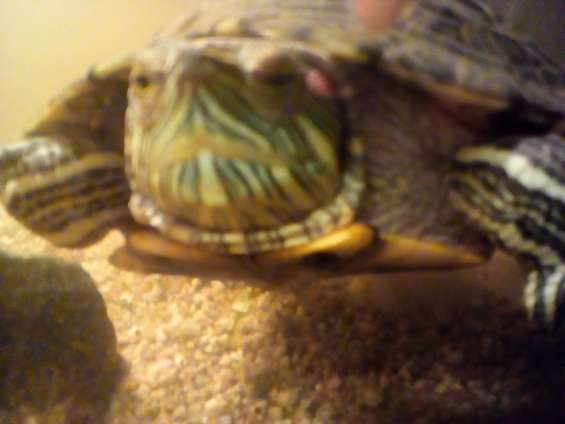 Vendo tortuga acuatica