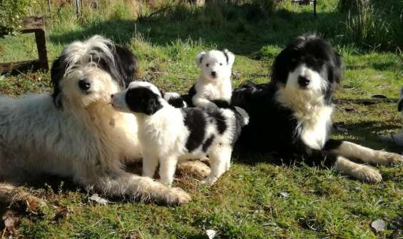 Cachorros ovejeros magallanicos 250.000