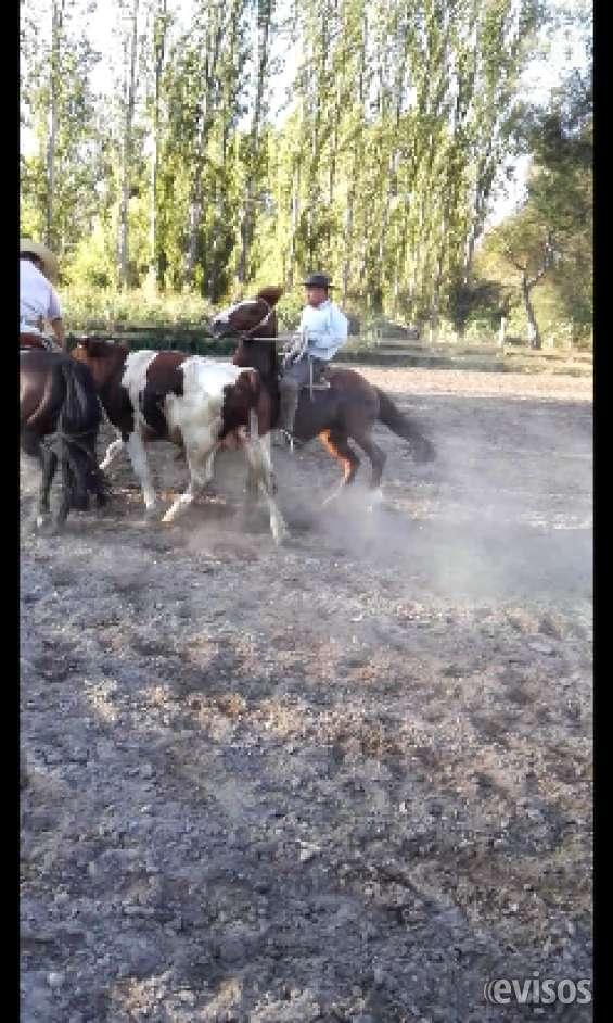 Se ofrece para galopar caballos