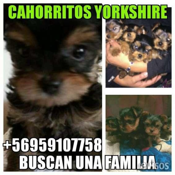 Cachorros yorkshire buscando hogar