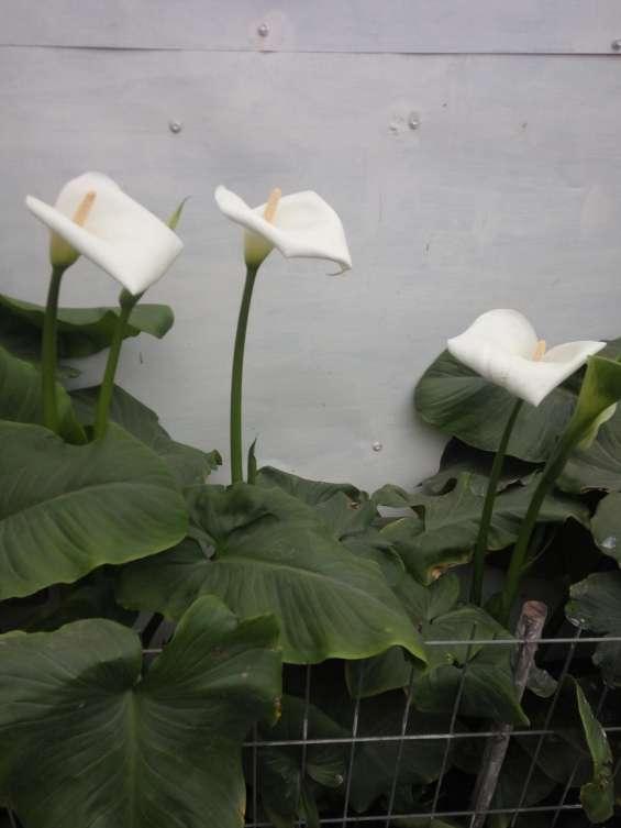 Hermosas calas blancas de vara alta.