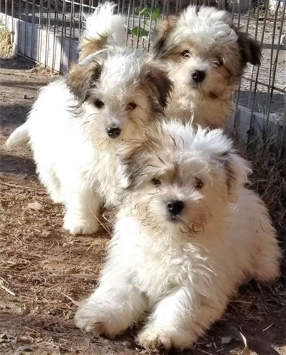 Cachorros coton raza pequeña 100%confiables
