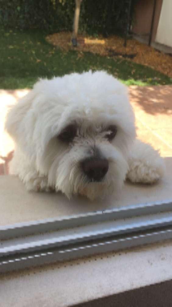 Busco novia para mi perro cotton de tulear