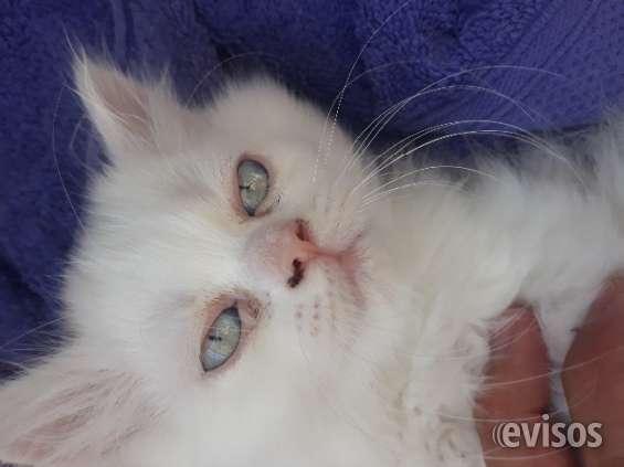 Gatitos persas , blancos de ojos azules