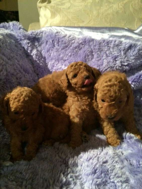 Red toy poodle cashi