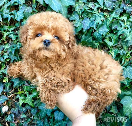 Cachorritos poodle toy variedad de colores